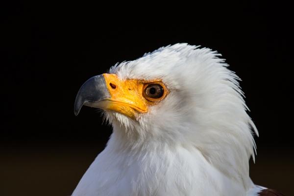 Fish Eagle by grahammooreuk