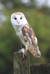 Barn Owl & Mouse