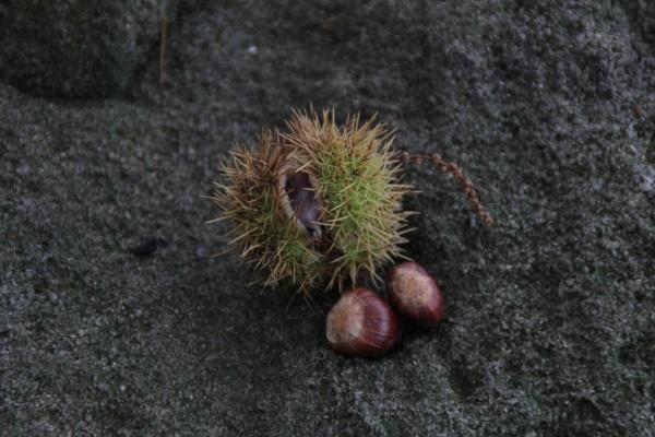 sweet chestnut by 50martins