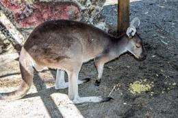 Kangaroo in the Shadows