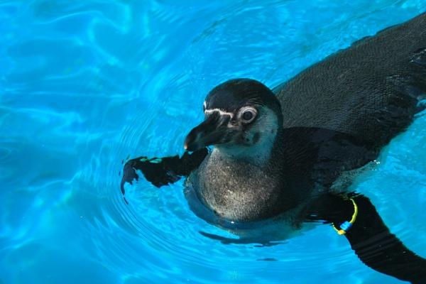 Humboldt Penguin by corkycat