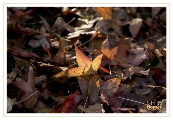 Golden leaf by IainHamer