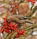 Waxwing by MalcolmM