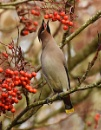 Waxwing & Rowans by MalcolmM