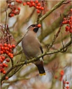 Waxwing & Rowans. by MalcolmM