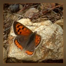 small copper by CarolG