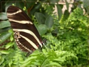 more Natural History Museum butterflies by CarolG