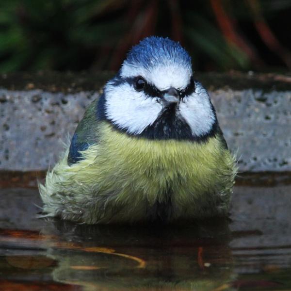 Wet blue tit by oldgreyheron