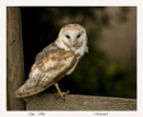 The Barn Owl by Maiwand