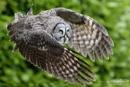 Great Grey Owl by Miles Herbert