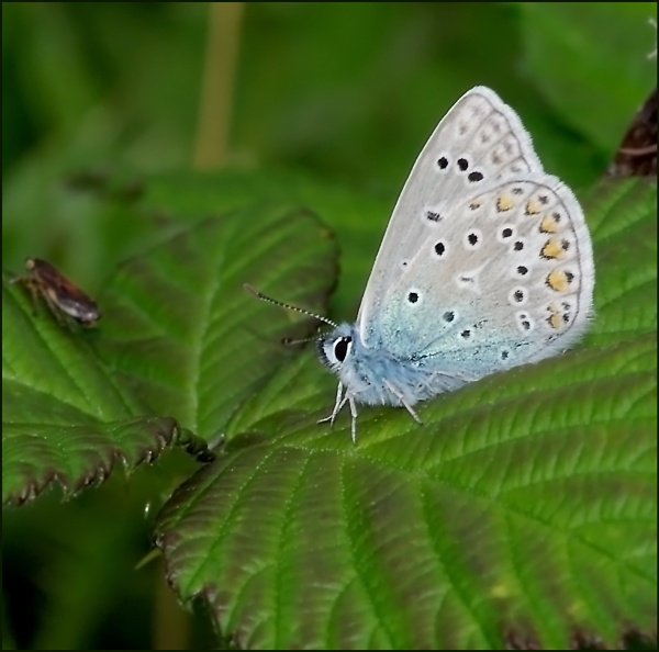Common Blue(m). by Badgerfred