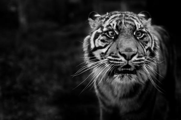 Tiger by costas