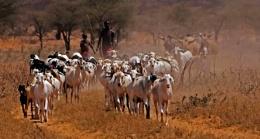 Samburu Goat Herders