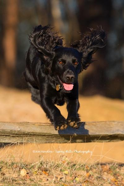 Happy Spaniel by SurreyHillsMan