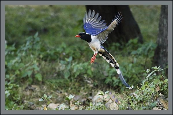 Orange billed Blue Magpie by prabhusinha