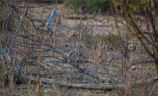 Spotting a leopard by ugly