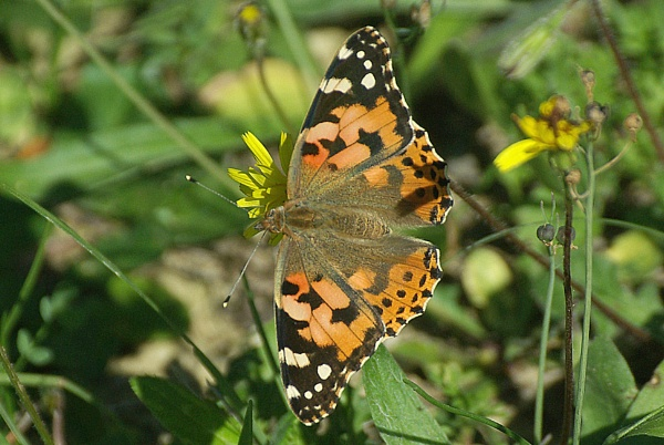 Another Painted Lady by TonyDy