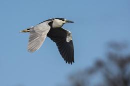 Black-Crowned Night Heron - Lettuce Lake