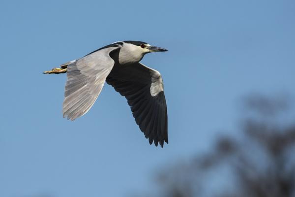 Black-Crowned Night Heron - Lettuce Lake by richmowil