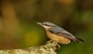 Nuthatch--- Watch those Claws by J_Caswell