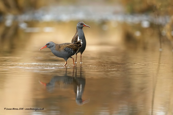 Water Rail by Louise_Morris