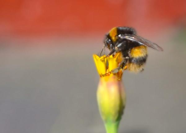 Garden Bumblebee 2 by bigwheels