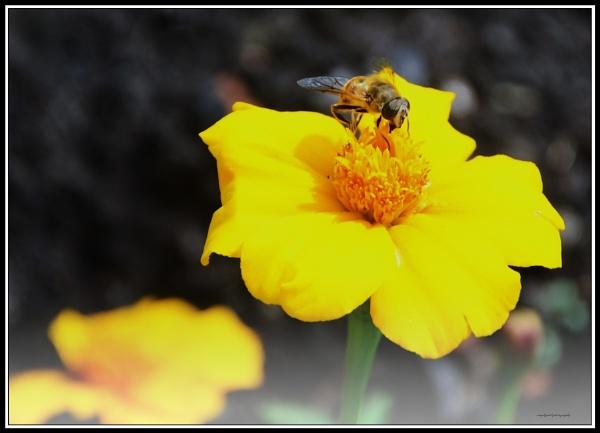 Honey bee 1 by bigwheels