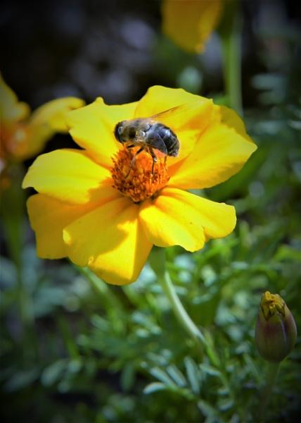 Honey bee 2 by bigwheels