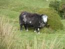 Sheep on Bodmin Moor by JuBarney