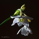 Amazon lily. by kuvailija