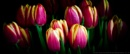Tulips by akh