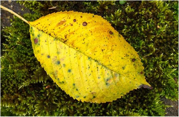 Cherry Leaf by dark_lord