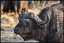 Buffalo by ColleenA