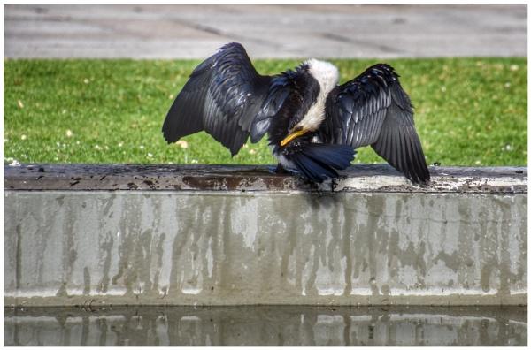 The Agile cormorant by ColleenA