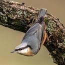 Woodland Birds: Nuthatch by RobertTurley