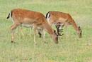 Fallow Deer-Dama dama by bobpaige1