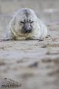 Grey Seal pup by AH1shot