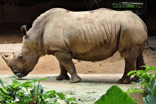 Rhino by geoffgt