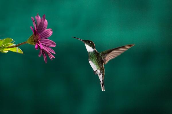 Hummingbird desire by sebasan