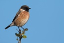 Stonechat by John_Wannop