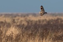 Short-eared owl by John_Wannop