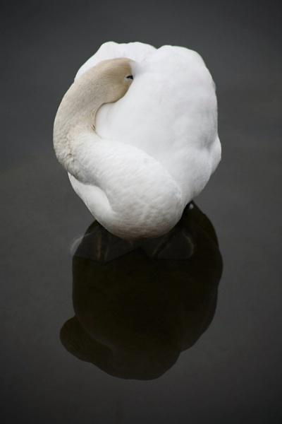 Resting Swan by Philipwatson