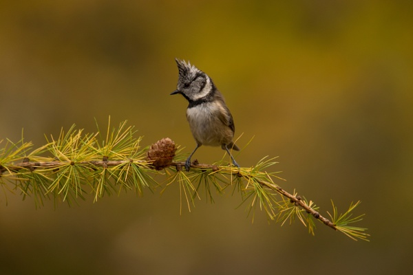 Crested Tit on Gold by photosmith8