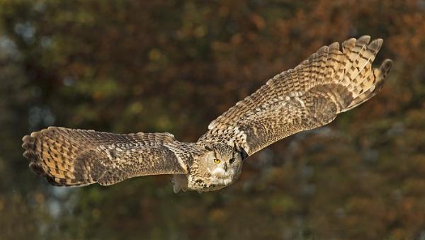 Siberian Eagle Owl. by JeanE