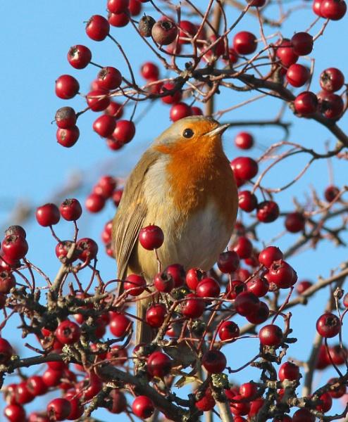 Robin for my Christmas card? by oldgreyheron