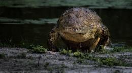 Lake Panic croc