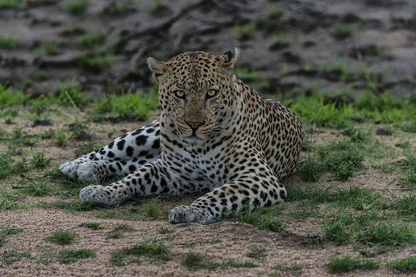 Leopard by Kruger01