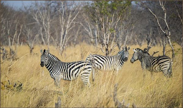 Zebra by ugly