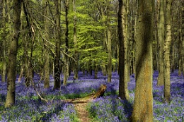 Bluebells at Ashridge, Can't wait for the new season.