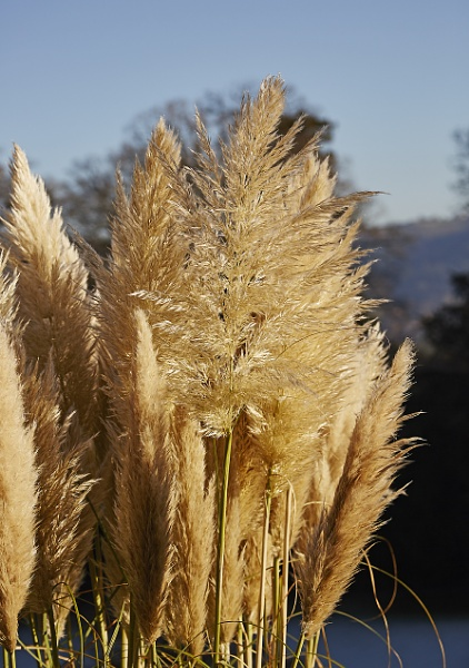Pampas grass by JOHNYCAD